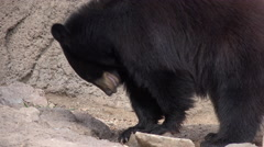 4K Black Bear Powerful Sharp Claws Chip Ice Stock Footage