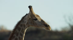 Giraffe - head, close shot, from side. Africa animal mammal 4K uhd nature - stock footage