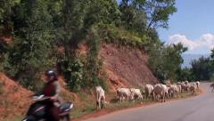 Grazing cows in the mountainous area driving POV Burma Stock Footage