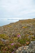 Flowers blossoming in arctic tundra in summer, Svalbard Stock Photos