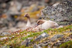 Grater white fronted goose nesting Stock Photos