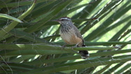Stock Video Footage of 4K Cactus Wren Perches On Leafy Cactus Wind Blows Feathers