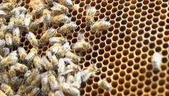 4k group of bees making honey on honeycomb Stock Footage
