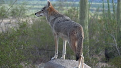 Stock Video Footage of Beautiful Coyote Peers At Landscape Climbs Off Boulder Trots Into Desert