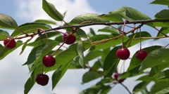 4K Woman pick up ripe red sour cherry fruit tree branch fresh bio food summer - stock footage
