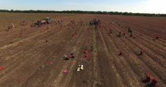 Harvest onions Stock Footage