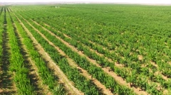 Green Standard Apple Trees Rows In Large Orchard Stock Footage