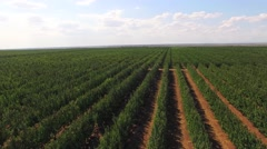 Rows Of Green Standard Apple Trees In Large Garden - stock footage