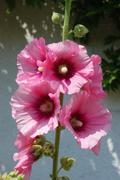 Garden hollyhock lcea Althea rosea Stock Photos