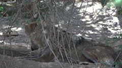 4K Mexican Gray Wolf Licks Paws Stock Footage