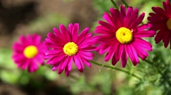 Red daisy flowers growing Stock Footage