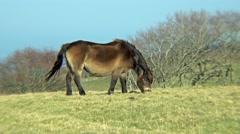 Wild Exmoor pony Stock Footage