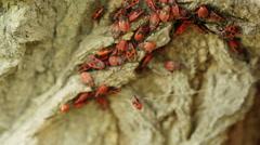 Pyrrhocoris apterus Stock Footage