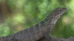 4K Spiny Tailed Iguana Soaks Sun Crawls Away Stock Footage