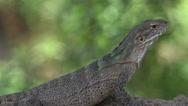 Stock Video Footage of 4K Spiny Tailed Iguana Soaks Sun Crawls Away