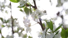 Sun light rays backdrop of blooming plum branch Stock Footage