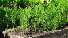 Carrots growing in  garden Stock Footage