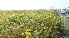 NS SEME Sunflower Field GMO Free Stock Footage
