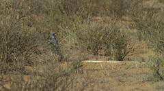 6K R3D - Pale Chanting Goshawk - standing next to Cape Cobra. Bird snake 4K - stock footage