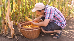 Farmer analyze Corn from basket in the field 3 - stock footage