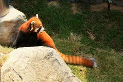 Red panda walking - stock photo
