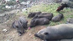 black vietnamese piglets rest rouster.MOV - stock footage