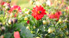 bumble bee pollinating a flower of dahlia - stock footage