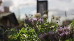 Stock Video Footage of Bumble bee pollination, purple lavender flowers in sunny garden, close up