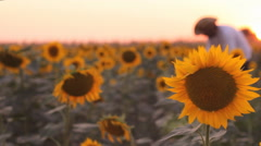 Sunflower sunset  cowboy farmer in background blur 3 Stock Footage