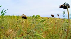 Rural Field Of Dried Sunflowers In Grass Stock Footage
