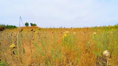 Dried Sunflowers In Grass In Agricultural Field Stock Footage