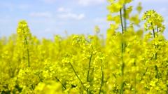 Yellow rape field Stock Footage