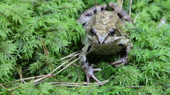 Forest frog in native habitat 5476 Stock Footage
