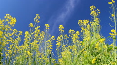 Colza flowers against the blue sky Stock Footage