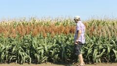 Farmer in millet corn field hands holding millets Stock Footage