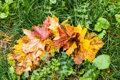 intensely colorful autumn maple leaf - stock photo