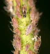 aphids insect on the plant. close - stock photo