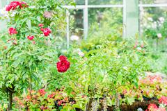 blossom red roses in the garden - stock photo