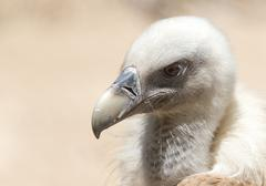 Stock Photo of Portrait of vulture in the nature