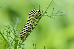 Machaon butterfly's caterpillar Stock Photos