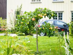 Small apple tree in front of beige house in garden - stock photo