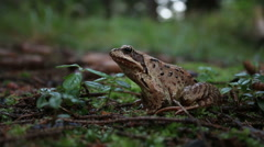 Stock Video Footage of The agile frog (Rana dalmatina) on the ground, green moss background
