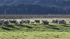 Sheep and lambs in field Stock Footage