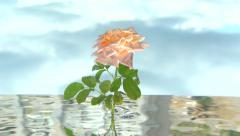 Rose grows up out of the water. Stock Footage