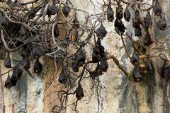 Flying foxes colony - stock photo
