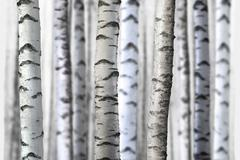 Seamless birch trees Stock Photos