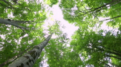 High angle view of giant beech trees growing in the unpolluted forest - stock footage