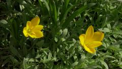 Yellow garden flowers 4K 2160p UHD footage - Small flower buds in the garden Stock Footage