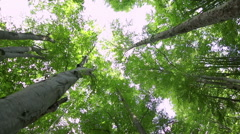 High angle view of giant beech trees growing in the unpolluted forest Stock Footage