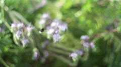 Purple lavender flowers pollinated bumble bee, shallow DOF Stock Footage